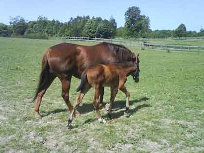 Ikon with colt foal Irish Hawk by Final Appearance