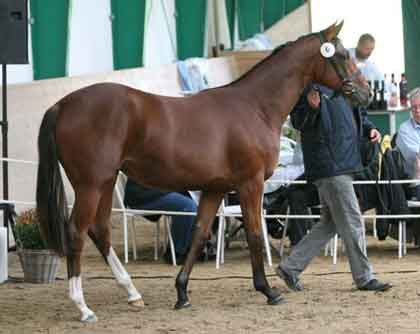 Satin, bay filly born 2007 by Informant x Satanic (Botanic) in the ring at York sept 2008